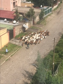 A herd on it's way to be slaughtered